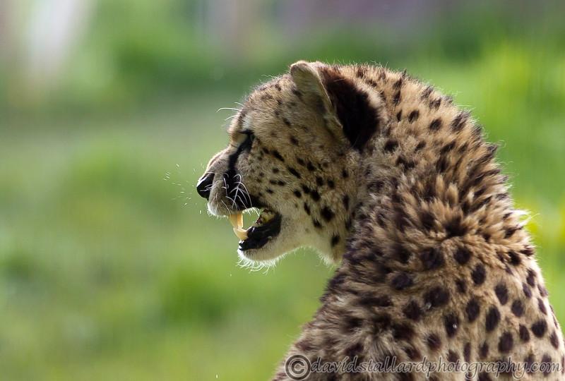 IMAGE: http://www.davidstallardphotography.com/Animals/Zoos/Marwell-Zoo-12-05-12/i-pLJWJqT/0/L/Marwell-Zoo-12-05-12-204-L.jpg