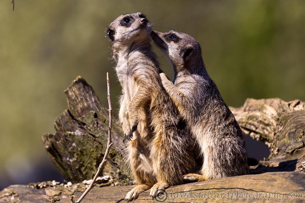 IMAGE: http://www.davidstallardphotography.com/Animals/Zoos/Marwell-Zoo-20-04-13/i-CHh85D5/0/XL/Marwell%20Zoo%2020-04-13%20%20038-XL.jpg