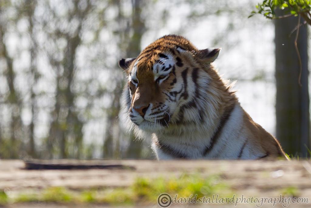 IMAGE: http://www.davidstallardphotography.com/Animals/Zoos/Marwell-Zoo-20-04-13/i-HG9HrBs/0/XL/Marwell%20Zoo%2020-04-13%20%20171-XL.jpg