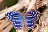 Banded Purple Wing (Blue royal) butterfly (Myselia cyaniris)