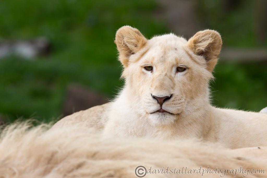IMAGE: http://www.davidstallardphotography.com/Animals/Zoos/Paradise-Wildlife-Park-28-09/i-Wn4G5TL/0/XL/Paradise%20Wildlife%20Park%2028-09-13%20%200092-XL.jpg