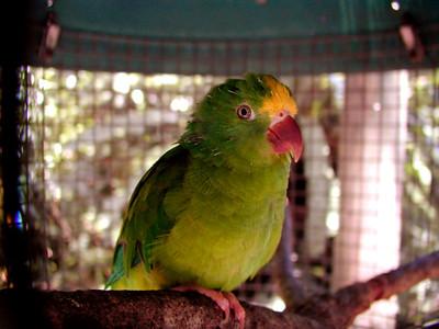 Tui Parrot