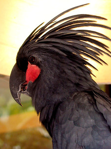 Black Palm Cockatoo