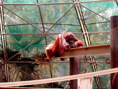 Pensive Ape