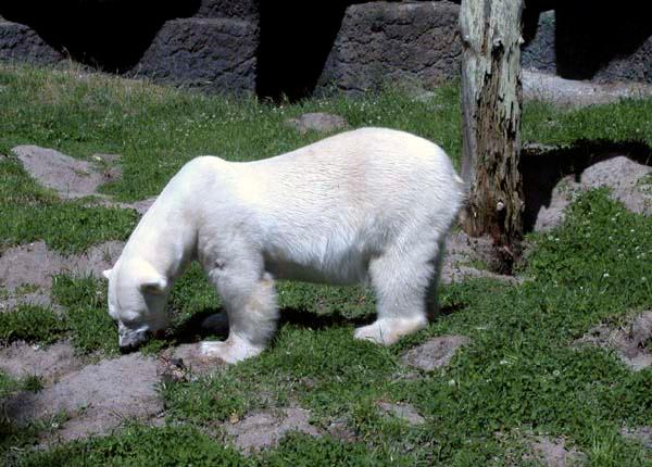 PolarBear3 copy