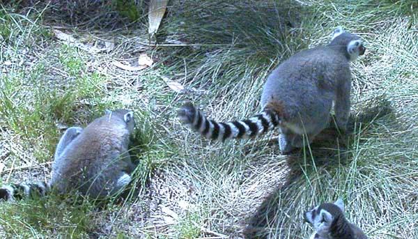 Lemur2 copy