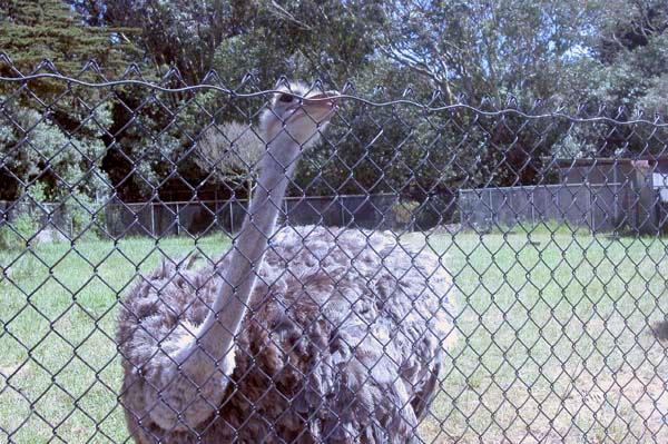 Ostrich1 copy