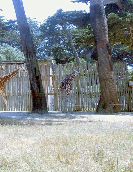 Giraffe1 copy