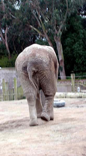 ElephantButt1 copy