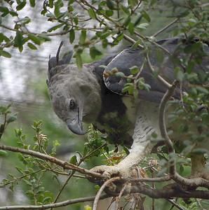 Gryphon eagle, San Diego Zoo, San Diego, CA