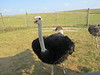 Ostriches are just dumb!