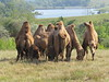 Open Air Tour - Bactrian Camels