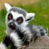 Ringtail doing what they do best - looking cute