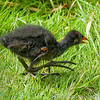 Baby Moorhen, only a mother could love