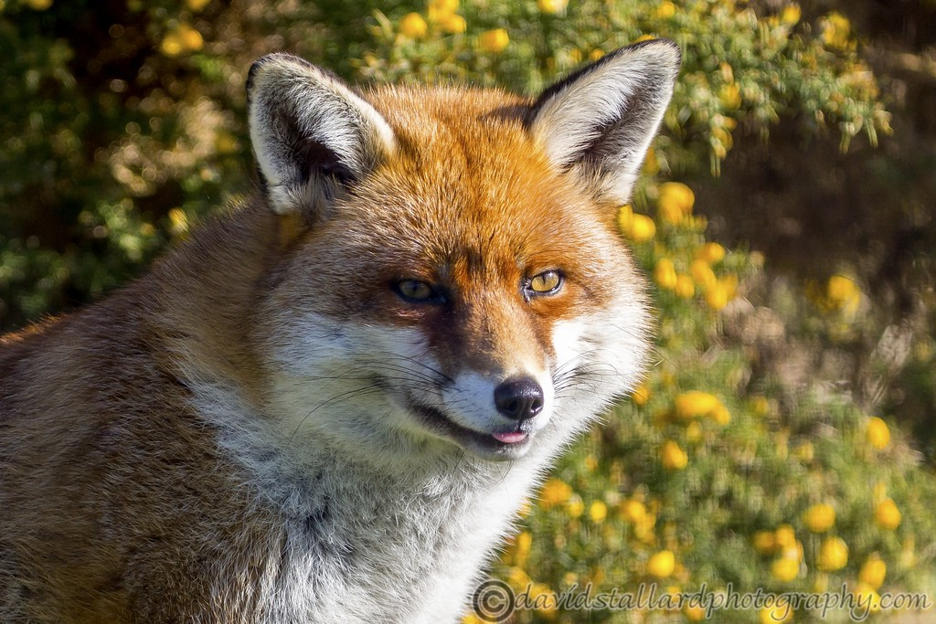 IMAGE: https://photos.smugmug.com/Animals/Zoos/Wild-at-Heart/i-3Gks6gc/0/134733d1/XL/BWC%20Fox-XL.jpg