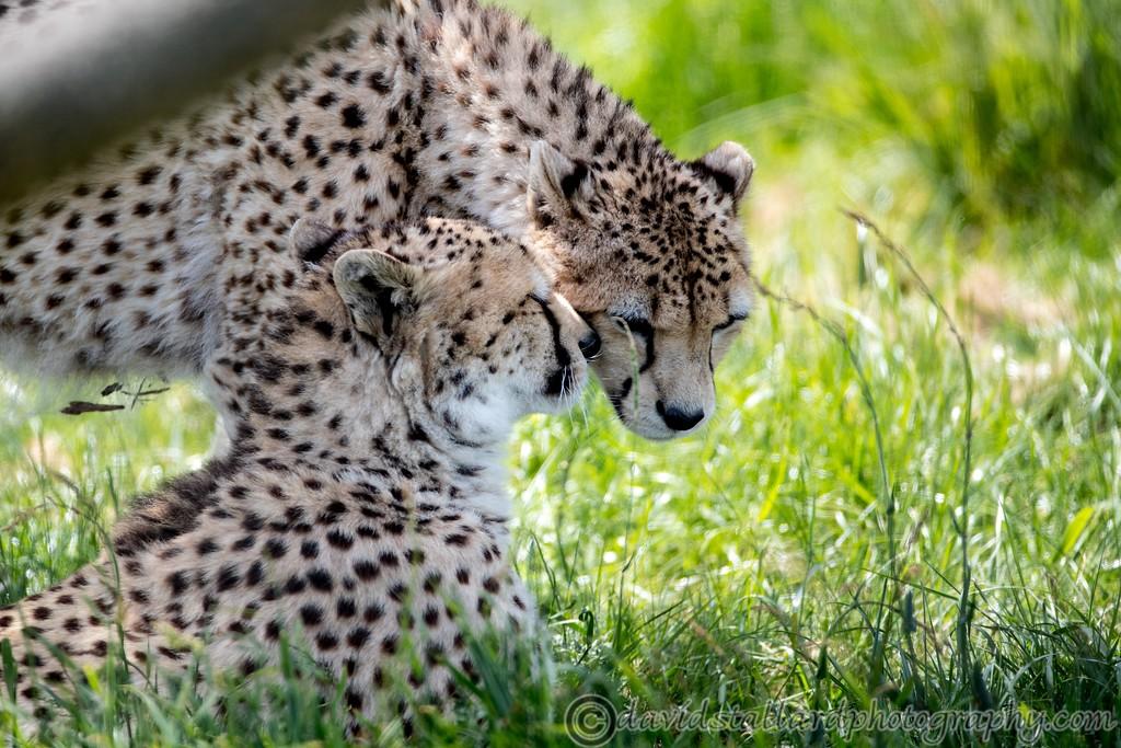 IMAGE: https://photos.smugmug.com/Animals/Zoos/Wild-at-Heart/i-72TpXDr/0/322a4d94/XL/Whipsnade%2001-06-19%200013-XL.jpg