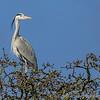 BWC Heron treetop