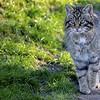 BWC Scottish Wild Cat
