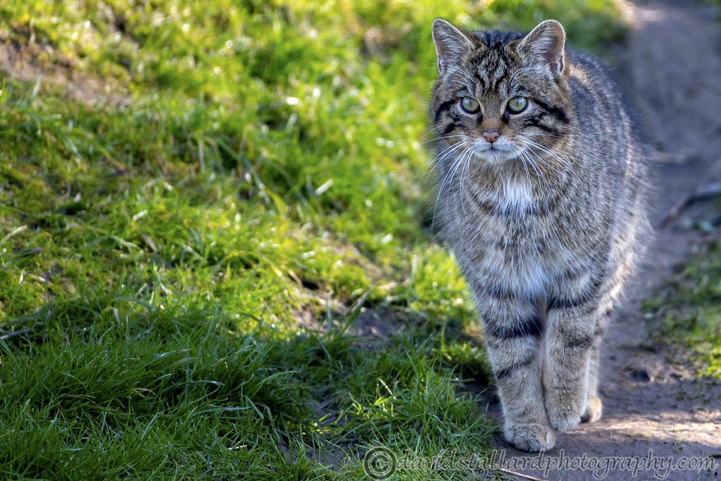 IMAGE: https://photos.smugmug.com/Animals/Zoos/Wild-at-Heart/i-HFSXTJZ/0/62ca1a63/XL/BWC%20Scottish%20Wild%20Cat-XL.jpg