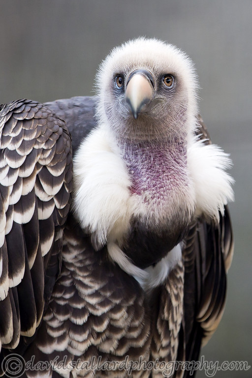 IMAGE: https://photos.smugmug.com/Animals/Zoos/Wild-at-Heart/i-LHFJpxn/0/XL/Colchester%20Vulture%2002-XL.jpg