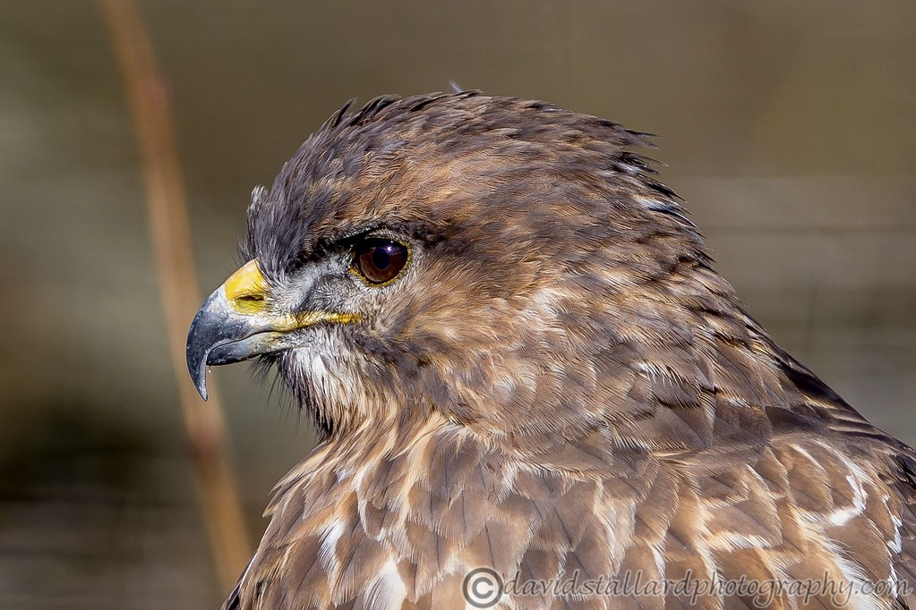 IMAGE: https://photos.smugmug.com/Animals/Zoos/Wild-at-Heart/i-WV7XCFk/0/09e81015/XL/BWC%20BoP%20Head%20shot-XL.jpg