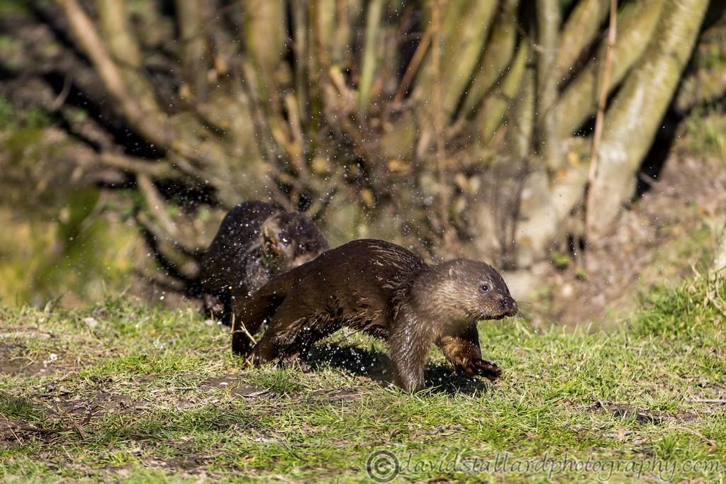 IMAGE: https://photos.smugmug.com/Animals/Zoos/Wild-at-Heart/i-kQRpjjW/0/8128034d/XL/BWC%20Otter%20kits-XL.jpg