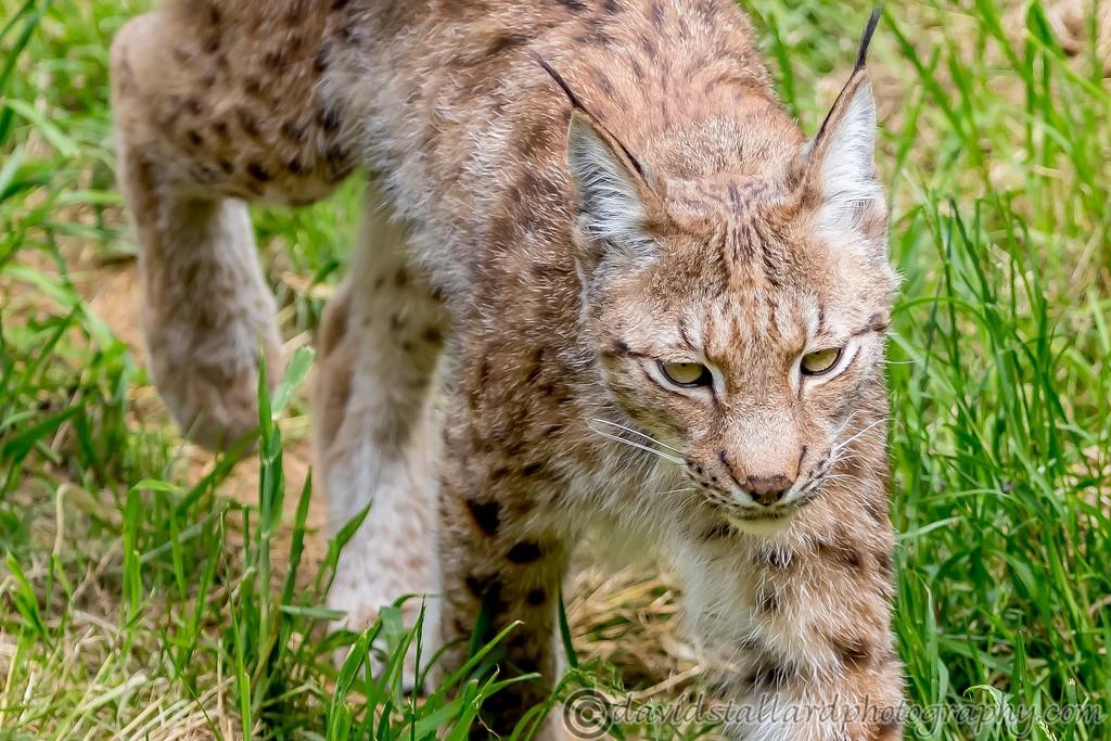IMAGE: https://photos.smugmug.com/Animals/Zoos/Wild-at-Heart/i-q2vsC7R/0/9e4e5e52/XL/Whipsnade%2001-06-19%200035-XL.jpg