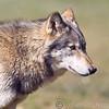 Wolf Conservation Trust 06-04-12  150