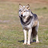 Wolf Conservation Trust 06-04-12  083