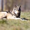Wolf Conservation Trust 06-04-12  156