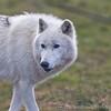 Wolf Conservation Trust 06-04-12  030