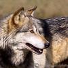 Wolf Conservation Trust 06-04-12  051