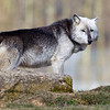 Wolf Conservation Trust 06-04-12  060