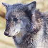 Wolf Conservation Trust 06-04-12  155
