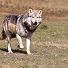 Wolf Conservation Trust 06-04-12  043