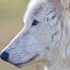 Wolf Conservation Trust 06-04-12  040
