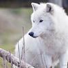 Wolf Conservation Trust 06-04-12  032