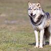 Wolf Conservation Trust 06-04-12  084