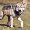 Wolf Conservation Trust 06-04-12  044