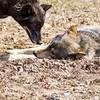 Wolf Conservation Trust 06-04-12  120