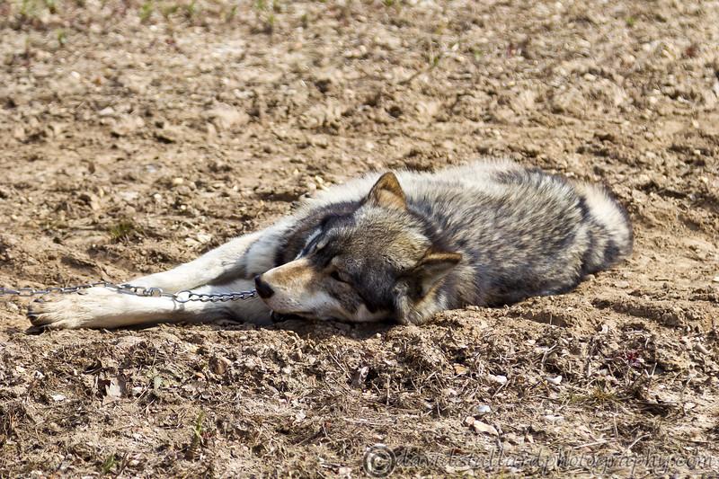 Wolf Conservation Trust 06-04-12  119