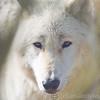Wolf Conservation Trust 06-04-12  034