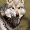 Wolf Conservation Trust 06-04-12  053