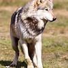 Wolf Conservation Trust 06-04-12  047