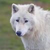 Wolf Conservation Trust 06-04-12  026