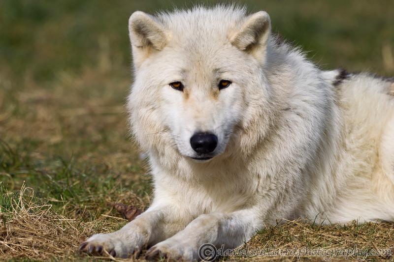 Wolf Conservation Trust 06-04-12  001