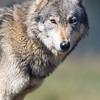 Wolf Conservation Trust 06-04-12  151