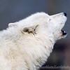 Wolf Conservation Trust 06-04-12  002