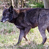 Wolf Conservation Trust 06-04-12  099