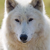 Wolf Conservation Trust 06-04-12  037